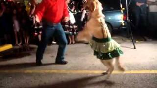 This Dancing Dog Does The Golden Retriever Version Of The Merengue