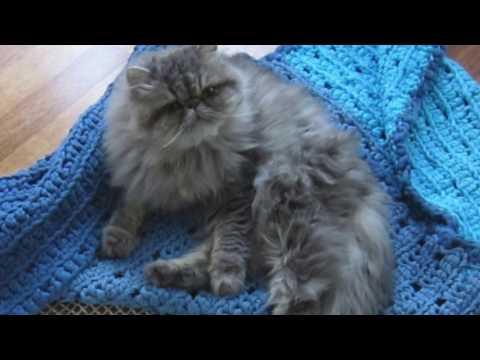 Persialainen kissa trampoliinilla / Persian cat escapes from trampoline