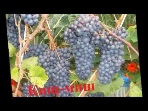Купить привитые саженцы виноград почтой Украина, Одесса