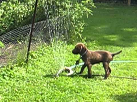 pudelpointer puppy bosie