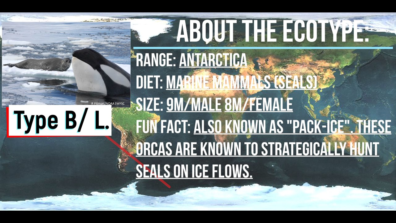Orca Anatomy Episode 3 Part 2 Ecotypes of the Southern Hemisphere ...