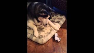 Siberian Husky Talks Back To Toy Husky