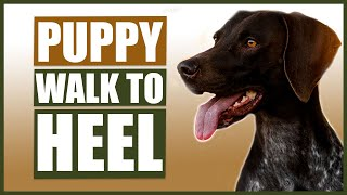 GERMAN SHORT HAIRED POINTER TRAINING! How To Train Your Puppy to Walk To Heel!