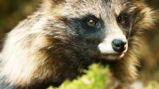 Sneaky Raccoon Dog Steals a Bird Egg