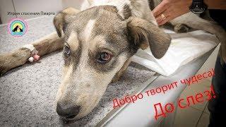 Раненого умирающего щенка вовремя нашли История до слез смотреть каждому real miracle
