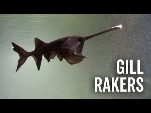 Feeding The Gill Rakers