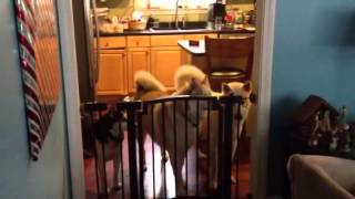 Husky opens gate