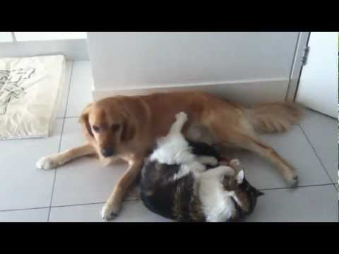 Naughty Maine Coon, Mr Fox torments Riley, the VERY tolerant Golden Retriever