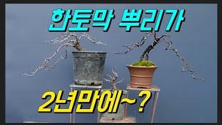 명자 뿌리삽목 2년후/분재철사걸이/야생화/wild fl…
