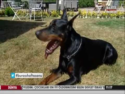 İşte Kıvanç Tatlıtuğun Köpeği Pars   Türkiye Videolar