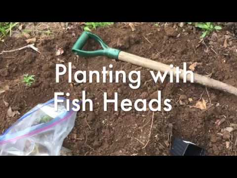 Planting With Fish Heads