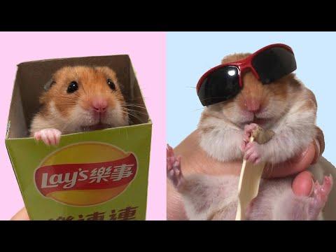 СМЕШНЫЕ ЖИВОТНЫЕ приколы с ХОМЯКАМИ Шушик и Бобик ТОП серии! (ПРИКОЛЫ ОЗВУЧКА) Hamsters Like #264