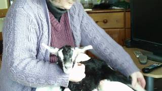Video British Alpine Goat Kids Having Their First Feed download MP3, 3GP, MP4, WEBM, AVI, FLV Juli 2018