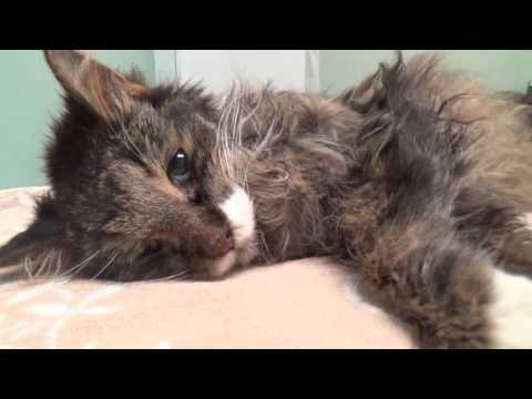 22 Year Old Maine Coon Cats Last Day Euthanasia(22х летний мейн-кун, последний день - эвтаназия)