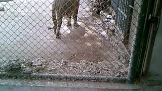 Bangal Tiger and Sweeper in cage Karachi Zoo. (smas360) Hyderabad Pakistan