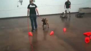 Teach A Dog To Walk Backwards