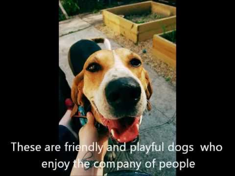 American foxhound dog images on video