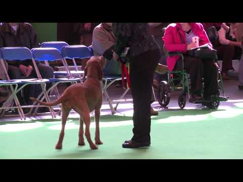 dfs Crufts 2011 - Best of Breed Hungarian Wirehaired Vizsla