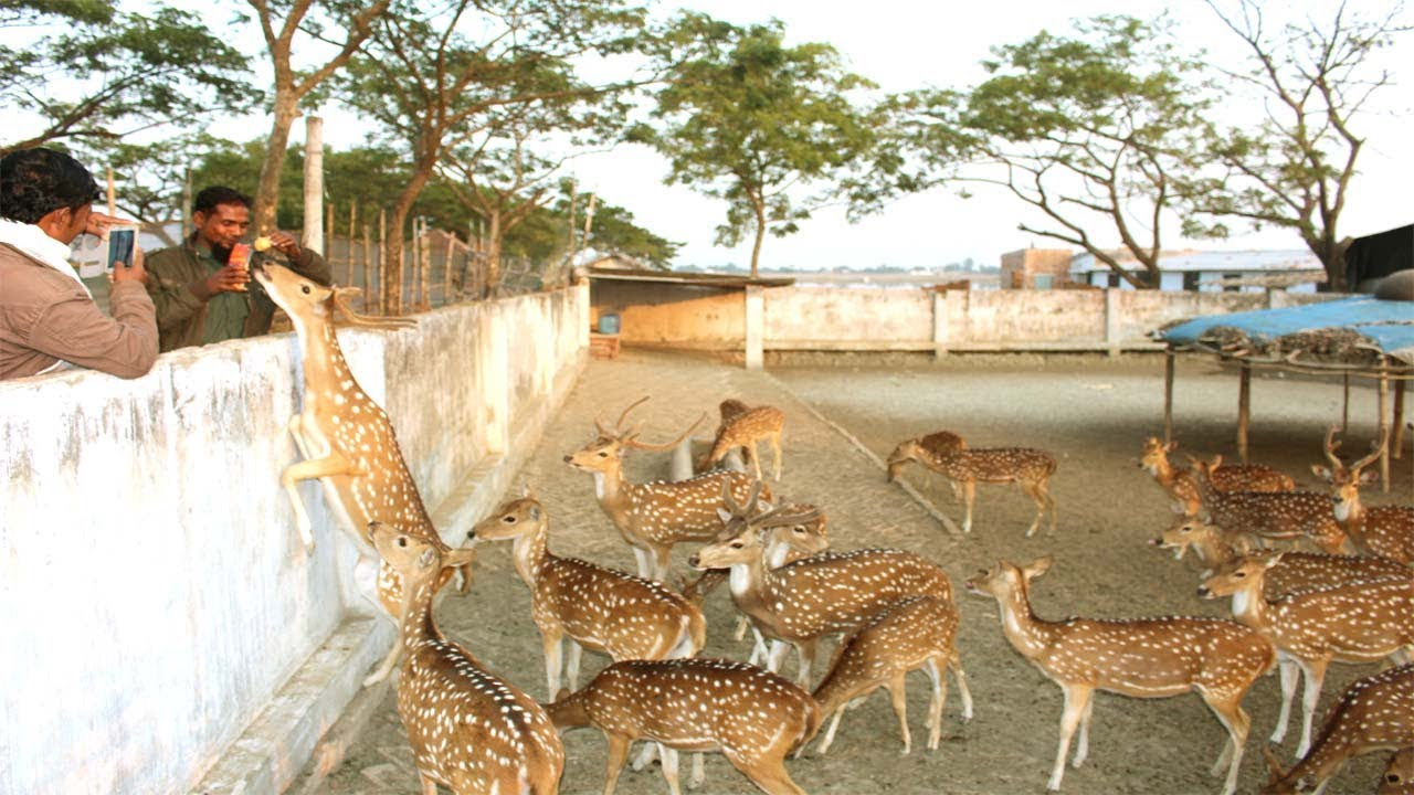 musk deer farming in india