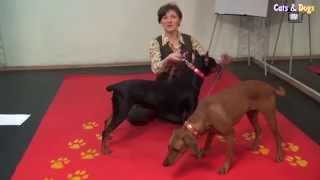 Cats&DogsTV - УДИВИТЕЛЬНЫЙ МИР СОБАК - НЕМЕЦКИЙ ПИНЧЕР / GERMAN PINSCHER DOG BREED