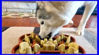 HUSKY EATS TOO FAST Time for a GUZZLE MUZZLE | Slow Feed Bowl for Fast Eating Dogs