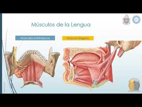 Anatomía de Lengua - YouTube