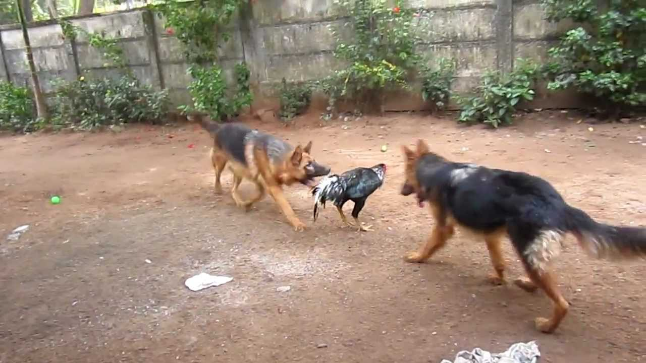 German Shepherds attacking a chicken - YouTube