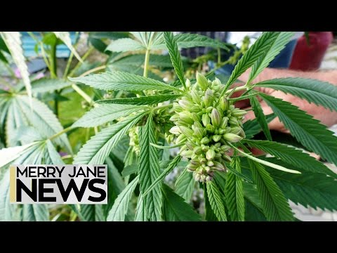 Weed Has a Seriously Mysterious Genetic History | MERRY JANE News