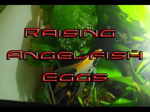 Hatching Angelfish Eggs