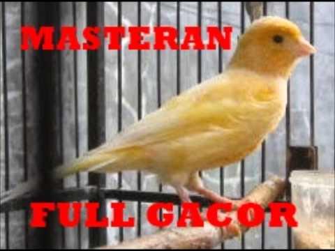Download Lagu Spesial Kenari Masteran Bikin Burung Kicau Gacor Ngeriwik Abis
