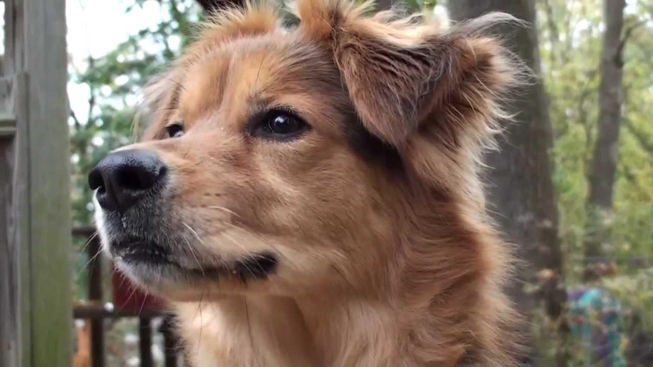 Black Lab Irish Setter Mix Puppies Wwwtopsimagescom