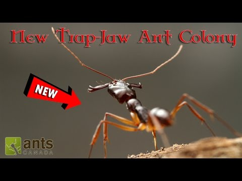 Thumbnail: MY NEW TRAP-JAW ANT COLONY! | HELP US NAME THEM!