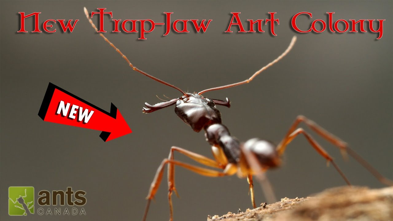 my-new-trap-jaw-ant-colony-help-us-name-them