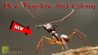 Click here to SUBSCRIBE: https://goo.gl/tlCQJZ We have a new ant colony! Check out what our new trap-jaw (Odontomachus infandus) ant colony is like!