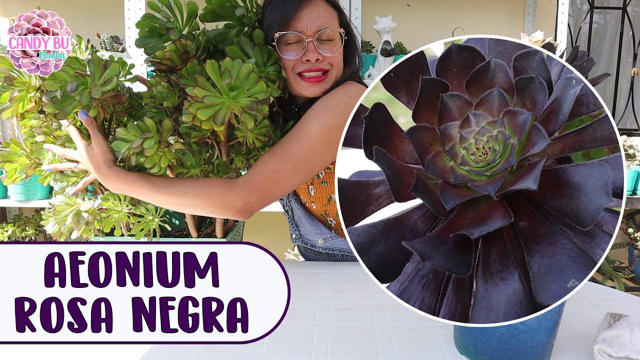 Suculenta rosa negra AEONIUM ZWARTKOP: Cómo cuidarla para que crezca hermosa y gigante │Candy Bu