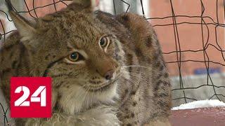 Рысь на балконе, лев в кальянной: домашних животных заставят регистрировать