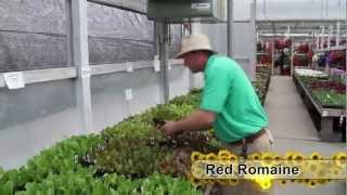 Vegetables Series: Lettuce