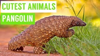 Pangolins are the CUTEST Animals Compilation!