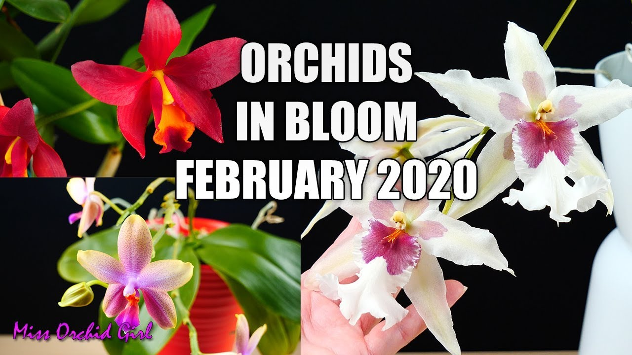 Orchids In Bloom February 2020 Feat My First Rare Orchid Youtube