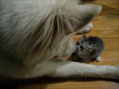 Thumbnail for Cat Video Huge Dog and Tiny Kitten