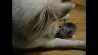 しばらくは大きなウルフドッグと小さな子猫のほんわかパッパをお楽しみください