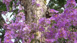 "Spectacularly BEAUTIFUL Flowers of "" Lagerstroemia Speciosa ""...... with a New Age Chinese Music !"