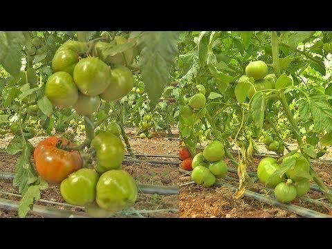 Гибрид томата PINK PARADISE F1 в теплице у Вити (19-04-2018) | выращивание | удобрения | баклажана | шымкент | полевод | огурцов | томаты | томата | семена | огурцы
