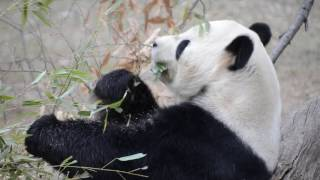 Tian Tian munching on bamboo during the snow showers