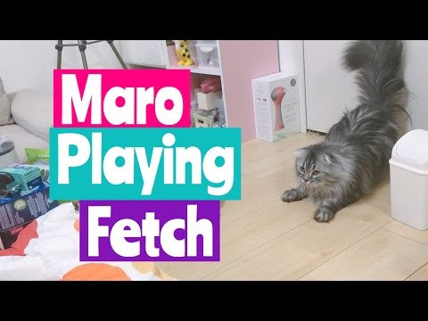 Scottish Fold Cat Playing Fetch