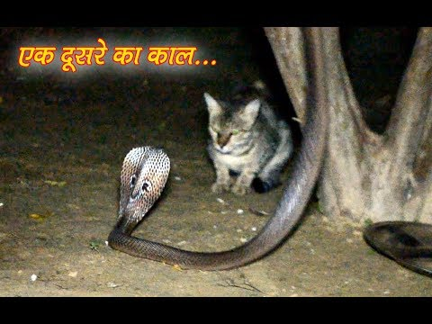 The Cobra snake Vs Common krait venomous snake rescue very dangerous situation by Murliwale hausla