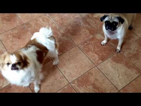 My pug and Japanese chin