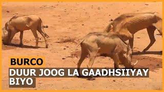 Doofaaro Ooman Oo Lagu Waraabiyey Deeagano Hoos Yimaada Togdheer - YouTube