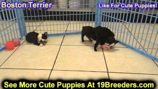 Boston Terrier, Puppies, For, Sale, In, Clifton, New Jersey, Nj, Morris, Passaic, Camden, Union, Oce