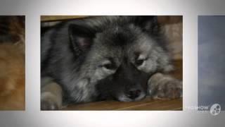 Вольф-шпиц порода собак